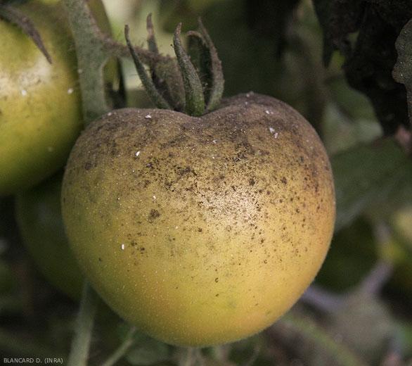 fumagine + tomate + maladie + aleurode + agriculture + responsable + lutte + biologique + repair